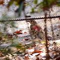 写真: 虎鶫(トラツグミ)
