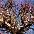 写真: 紅梅を背景に咲く白梅