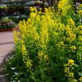 写真: 菜の花(ナノハナ)