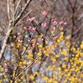 写真: 蝋梅の前の紅梅