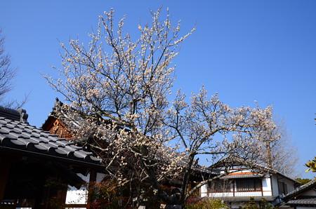 弘源寺の白梅
