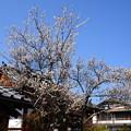 写真: 弘源寺の白梅
