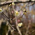 写真: 百花苑の白梅