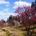 写真: 梅咲くけいはんな記念公園