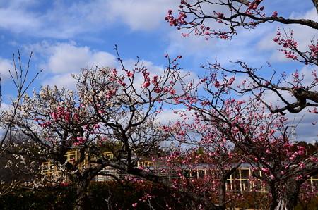 水景園の梅