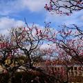 写真: 水景園の梅