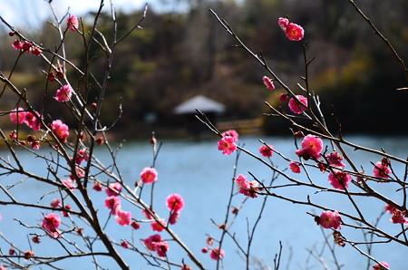 永谷池の梅