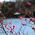 写真: 永谷池の梅