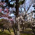 写真: 白梅とピンクの梅