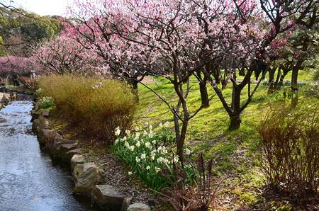 小川と水仙と梅林