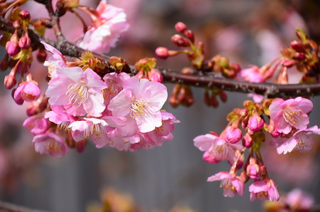 東寺の河津桜(カワヅザクラ)