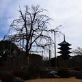 写真: 春を待つ不二桜と五重塔