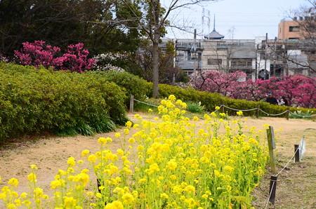菜の花と梅と塔
