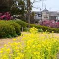 写真: 菜の花と梅と塔