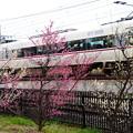 写真: 梅と列車