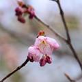 写真: 知恩寺の桜