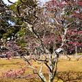 写真: 紅白咲き分け、、、ではないような、、、