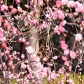 写真: 梅の中のジョビ子ちゃん