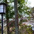 写真: 参道の紅梅