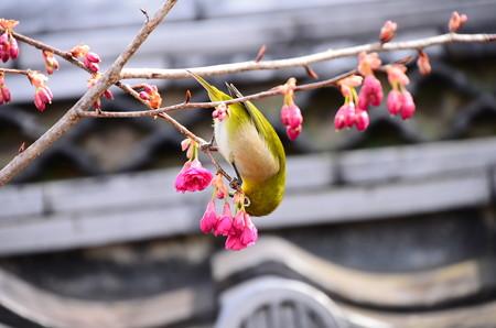 寒緋桜に目白
