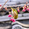 写真: 寒緋桜に目白