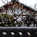 写真: 龍見院の梅