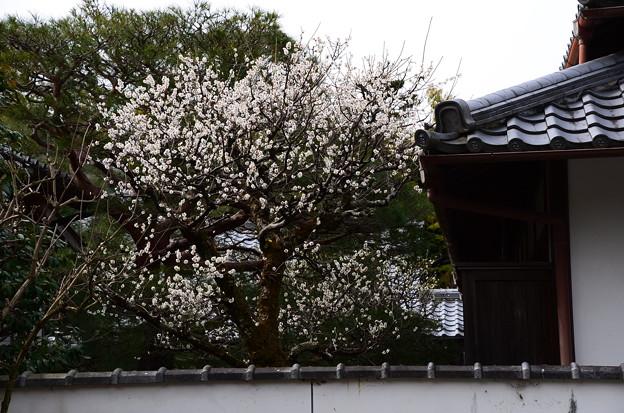 写真: 西雲院の白梅
