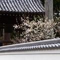 写真: 鐘楼脇の白梅