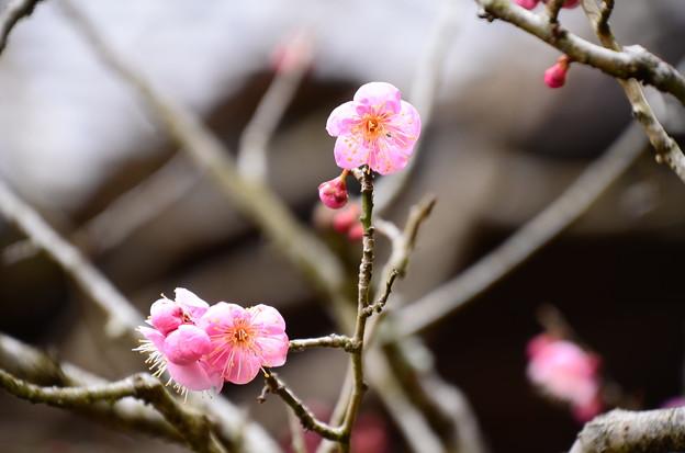 写真: 最勝院の梅