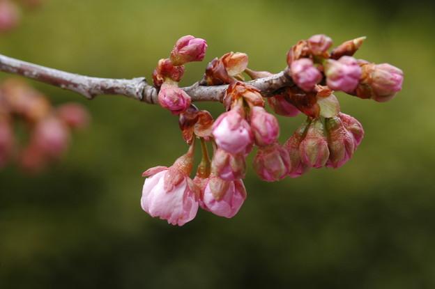 写真: 椿寒桜(ツバキカンザクラ)