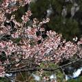 写真: 寒桜(カンザクラ)