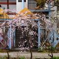 写真: 哲学の道の枝垂れ梅