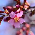 写真: 咲き始めたオカメ