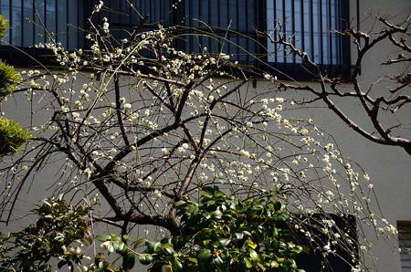善行院の枝垂れ梅