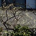 写真: 善行院の枝垂れ梅