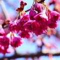 写真: 寒緋桜(カンヒザクラ)