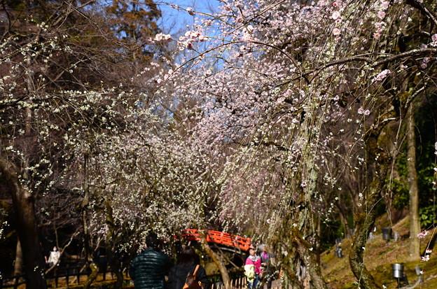 写真: 御土居の枝垂れ梅