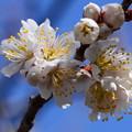 写真: 咲き始めた唐実桜(カラミザクラ)