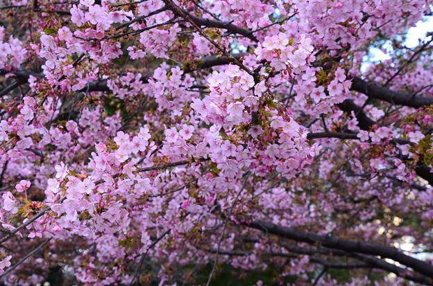 写真: 一条戻橋の河津桜(カワヅザクラ)