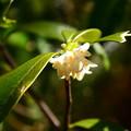写真: 胡椒の木(コショウノキ)