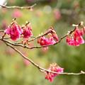 寒緋桜咲く平安神宮