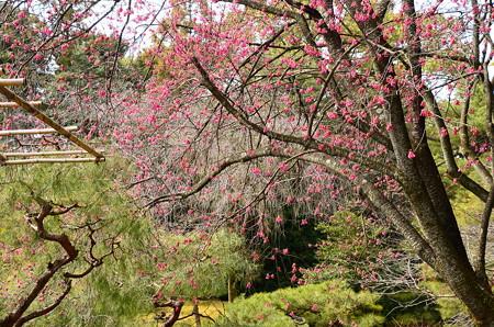 平安神宮の寒緋桜(カンヒザクラ)