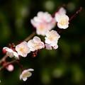淡いピンクの梅