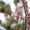 写真: 近衛邸跡の山桜(ヤマザクラ)