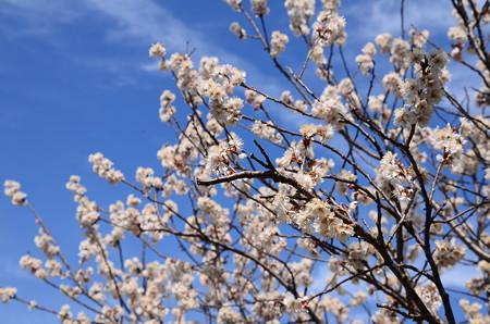 満開の唐実桜(カラミザクラ)
