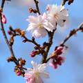 写真: 御会式桜(オエシキザクラ)