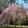 近衛邸跡の糸桜(イトザクラ)