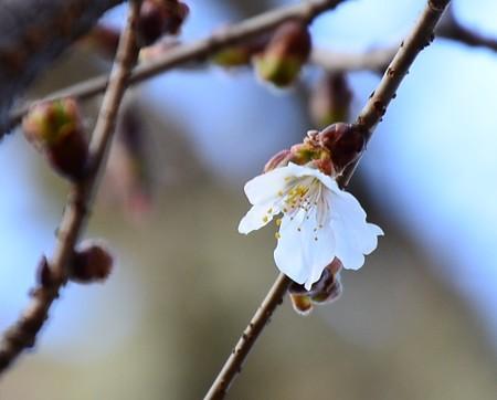 咲き始めた山桜(ヤマザクラ)