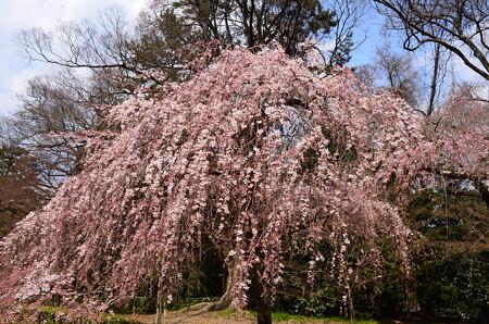 御苑の糸桜(イトザクラ)