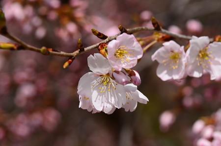 細井桜(ホソイザクラ)